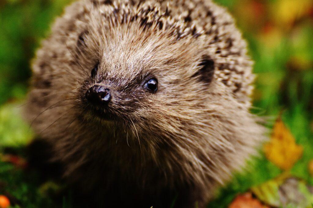 hedgehog in garden, looking at camera